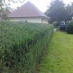 Yew hedge triming