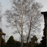 Silver Birch tree before reduction